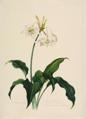 Amaryllidaceae, Eucharis amazonica, Cultivated in São Paulo. Margaret Mee. Flowered March 1958. Permission for reproduction received from Dumbarton Oaks Research Library and Collection, Rare Book Collection, Washington, D.C., Online Exhibits, Highlights from the Collections, Margaret Mee, The Paintings.