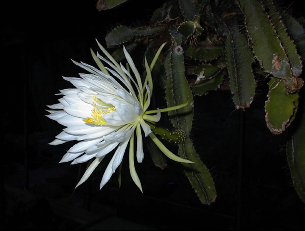 Strophocactus testudo, Photo by: Ulf Eliasson, November 30, 2006. Free to share, Creative Commons Attribution-Share Alike 2.5 Generic license.