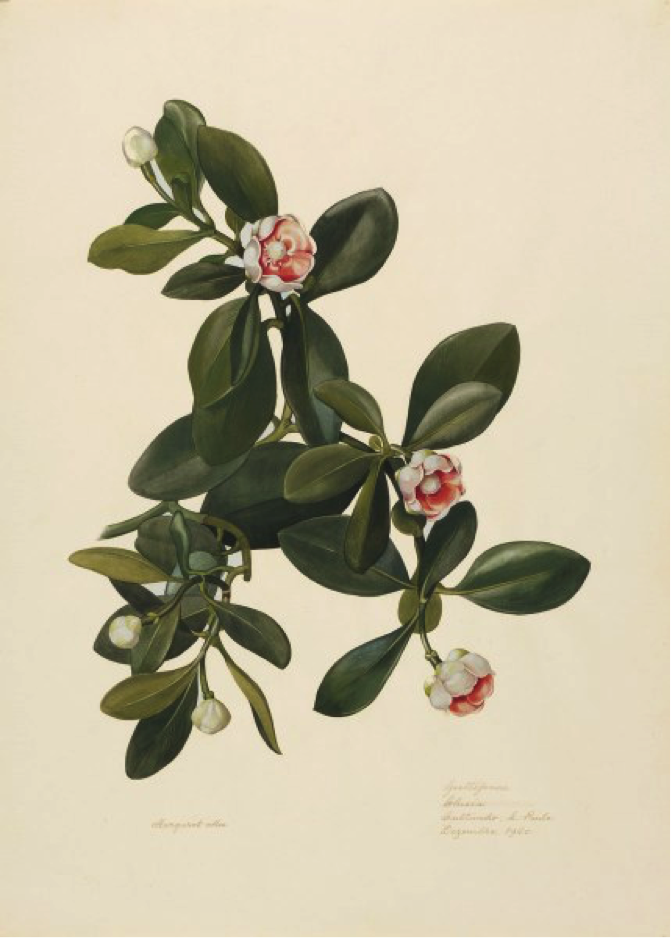 Guttiferae, Clusia. Cultivated in São Paulo. Margaret Mee, December 1960. Permission for reproduction received from Dumbarton Oaks Research Library and Collection, Rare Book Collection, Washington, D.C., Online Exhibits, Highlights from the Collections, Margaret Mee, The Paintings