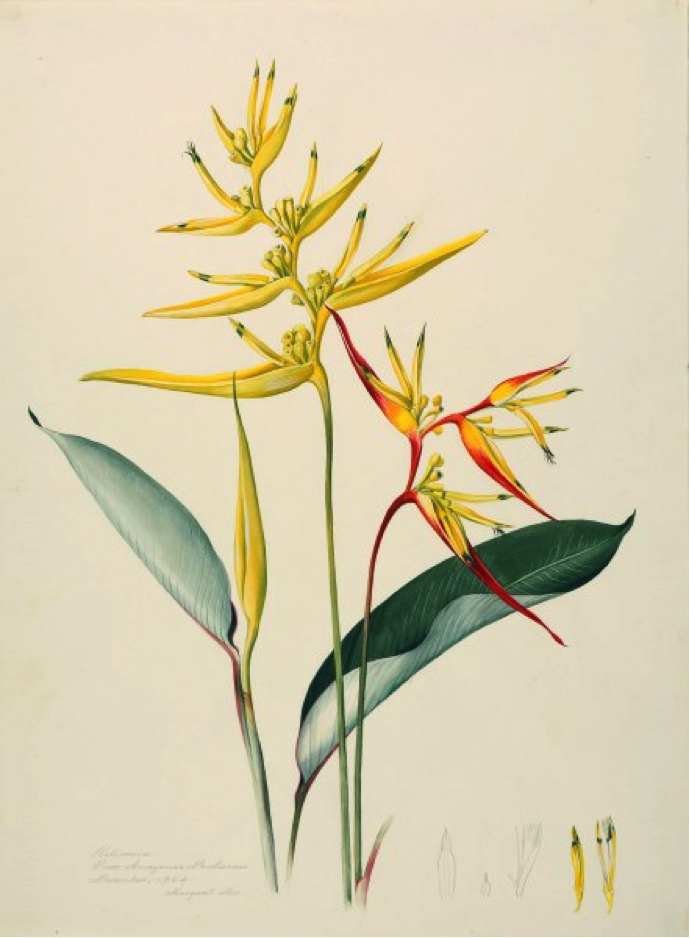 Heliconia sp., Procured from Amazonas, Near Manaus. Margaret Mee, November 1964. Permission for reproduction received from Dumbarton Oaks Research Library and Collection, Rare Book Collection, Washington, D.C., Online Exhibits, Highlights from the Collections, Margaret Mee, The Paintings.