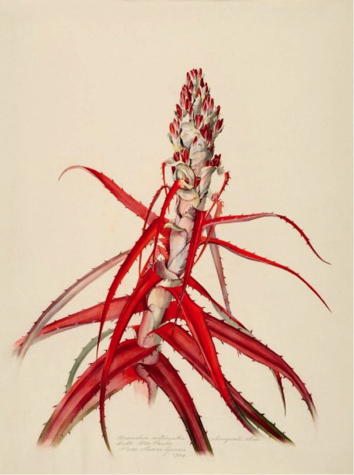 Bromelia anticantha Bertol. Cultivated in São Paulo. Procured from Minas Gerais. Margaret Mee, 1964. Permission for reproduction received from Dumbarton Oaks Research Library and Collection, Rare Book Collection, Washington, D.C., Online Exhibits, Highlights from the Collections, Margaret Mee, The Paintings.