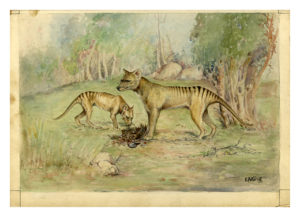 Ethel King's watercolour and ink drawing of the Tasmanian Tiger, Thylacinus cynocephalus, prepared for an Australian Museum postcard series 1929. Australian Museum Archives AMS118_6. Reproduction Rights Australian Museum