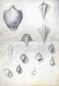 Working sketches by Joyce Allan. Australian Museum Archives AMS502. Reproduction Rights Australian Museum.