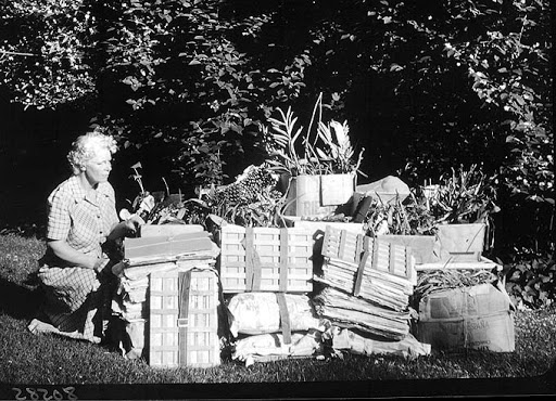 Margery Carlson (1892-1985) Botany Research Associate shown [outdoors] with some of the packs of [plant] specimens she collected on expedition. © The Field Museum, B80585.